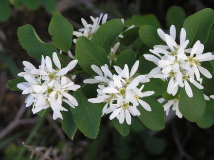 Amelanchier canadensis, Photo :  Fairfax County